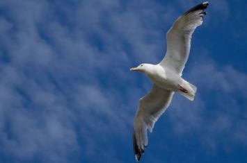 英国夏季银鸥袭击人