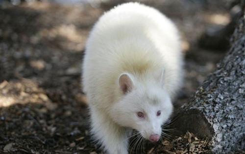 神农架白色动物之谜