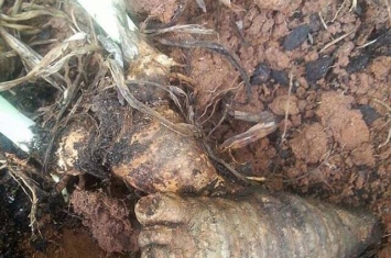 美国北卡罗来纳州女子在自家花园发现长得像人脚的根茎