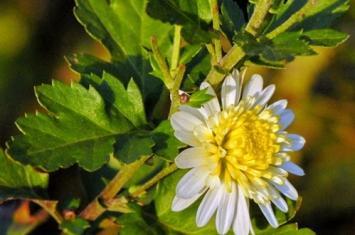 神农香菊之谜