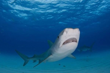 《生态学》杂志:落入水中的候鸟让墨西哥湾虎鲨的伙食变得更加丰盛