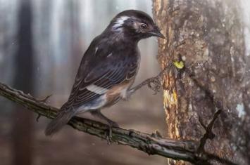 """缅甸北部克钦邦胡冈谷地琥珀中发现9900万年前古鸟类新物种 命名为""""陈光琥珀鸟"""""""