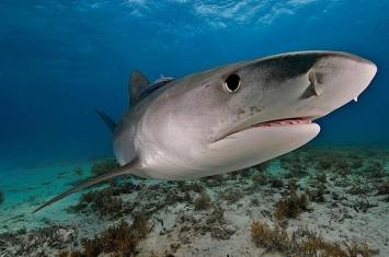 科学上首次确认鼬鲨(虎鲨)会不时吃掉陆栖鸟类