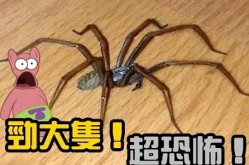 英国肯特郡女子家中惊见老鼠大小的巨型蜘蛛