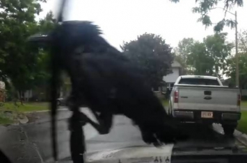 乌鸦随汽车雨刮摆动 如玩机动游戏