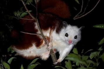 红白鼯鼠出现在哪些地区
