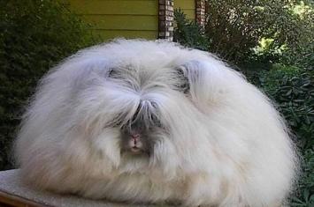 """纳粹德国养兔取毛皮的""""小矮人行动""""计划"""