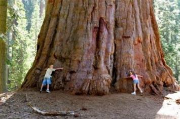 为什么世界上最大的树很喜欢森林火灾