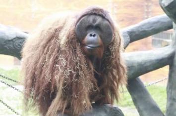 """全国唯一会画画的红山森林动物园红毛猩猩""""乐申""""逃走 麻醉后暴毙"""