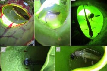 加拿大圭尔夫大学科学家研究发现食肉睡莲吃小蝾螈