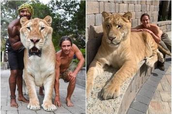 """美国南卡罗来纳州莫特尔滨海野生动物园培育出""""世界上最大的猫科动物""""狮虎Apollon"""