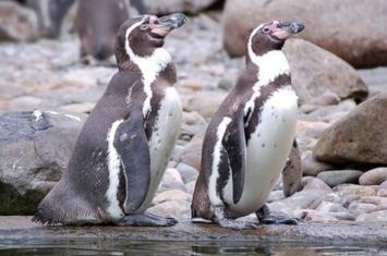 德国萨克森州德累斯顿动物园洪堡企鹅孵蛋失败残杀4同胞