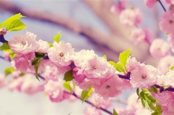 春季花粉过敏人群需尽量避免接触哪类植物