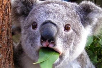 树袋熊是熊吗