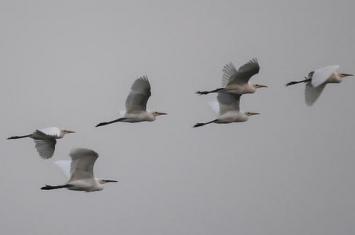 白鹭有哪些种类