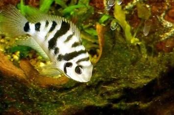 """对""""橘斑娇丽鱼""""的研究发现:鱼类与伴侣分开后会变得更加悲观"""