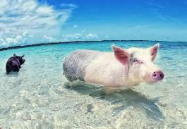 全球唯一被猪占领的岛,猪生巅峰也不过如此了吧(令人羡慕!)
