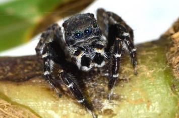 """澳大利亚新蜘蛛""""Jotus karllagerfeldi""""纪念老佛爷卡尔·拉格斐(Karl Lagerfeld)"""