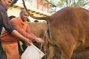 印度神牛竟拉出300多颗钻石,拉钻石是意外尿黄金才是真的