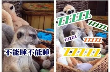 """狐獴困极撑住不睡 头不停""""钓鱼"""""""