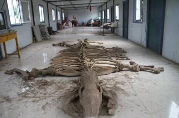 库伦旗发现内蒙古地区个体最大的完整披毛犀骨骼化石