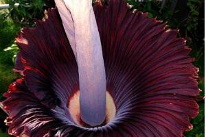 世界上最恐怖的花:尸花,开花时会散发尸臭的味道(图片)
