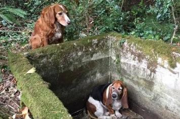 美国华盛顿瓦雄岛黄金猎犬守候洞口1星期直到朋友巴吉度猎犬获救