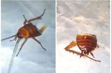 小强你怎么了小强:泰国曼谷一只蟑螂被砍成两半仍在向前爬行