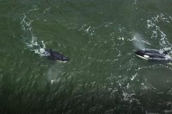 """科学家将对从""""鲸鱼监狱""""放归自然的虎鲸和白鲸持续观察半年"""