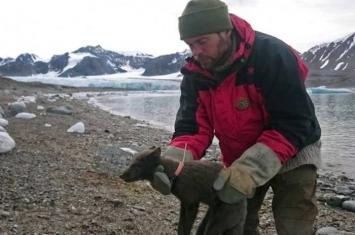 76日长征3506公里 小北极狐由挪威抵加拿大