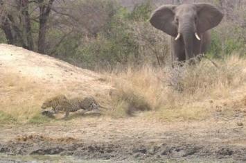 南非克鲁格国家公园大象从豹子袭击中救出一群羚羊
