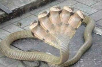 印度惊现五头蛇美人鱼,受神龛香火庇佑的上古神兽(图片)