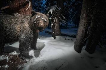 西黄石地区的灰熊到底有什么东西不吃?