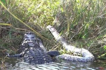 美国摄影师Ewan Wilson在佛罗里达州大沼泽地国家公园拍到美国短吻鳄玩弄4米长缅甸蟒