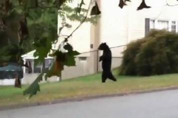 美国新泽西州居民区出现大脚野人?原来是直立行走的狗熊