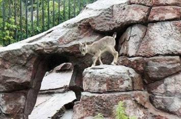 俄罗斯莫斯科动物园诞生一只岩羊