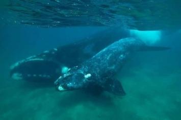 研究发现南露脊鲸发低沉声音 借以保护幼鲸免遭猎食