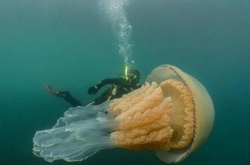 英国生物学家到康沃尔郡潜水时遇上一只与人身体差不多大小的巨型桶水母