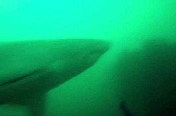 南非渔民潜水找寻岩礁鱼时遭到大白鲨追逐攻击