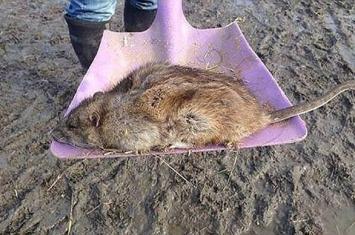超级大老鼠入侵英国引发恐慌 居民担心老鼠药都已无法发挥作用