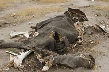抗议薪金低 津巴布韦万基国家公园巡逻员涉毒杀大象
