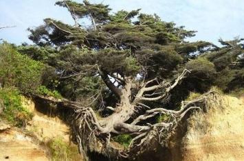 """美国华盛顿州奥林匹克国家公园""""生命之树""""坚强地跨立在悬崖边"""