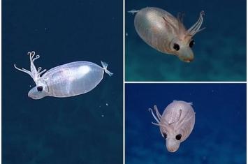 """美国夏威夷巴尔米拉环礁水域拍摄到""""小猪鱿鱼""""Helicocranchia pfefferi"""