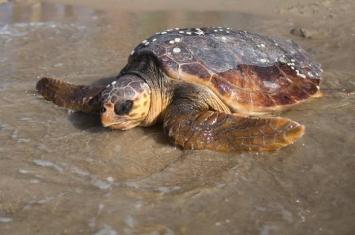 日本和歌山县迎来濒危物种红海龟产卵季