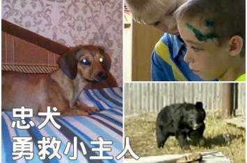 俄罗斯腊肠狗勇斗黑熊救8岁小主人