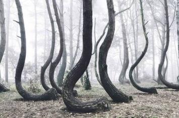 """波兰""""弯曲森林""""(Crooked Forest)里面的松树大部分都弯曲生长"""