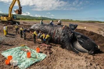 """最近发生的六起死亡事件让稀有鲸鱼""""北大西洋露脊鲸""""离灭绝又更近一步"""