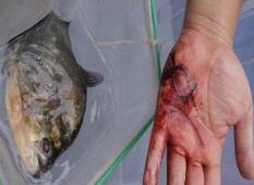 广西柳州食人鱼事件,食人鱼咬伤两人竟是日本人放的