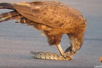 南非克鲁格国家公园短趾雕在路中间抓了一条蛇大快朵颐