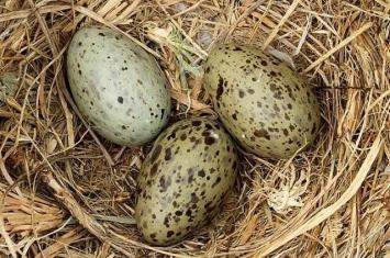 鸟蛋内的胚胎可接收到警告讯号并与鸟巢内的兄弟姊妹分享 等到环境变得安全再破壳以出